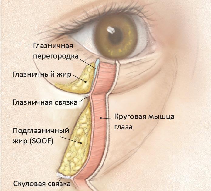 Анатомические особенности