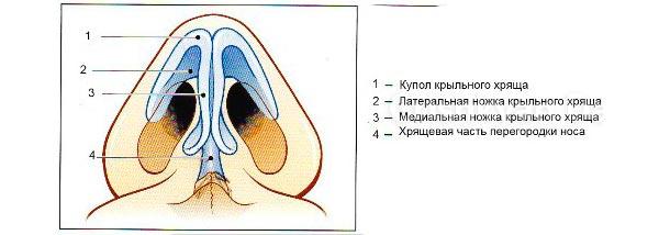 Что представляет собой носовая перегородка