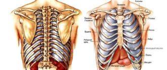 Скелет человека. Реберные кости