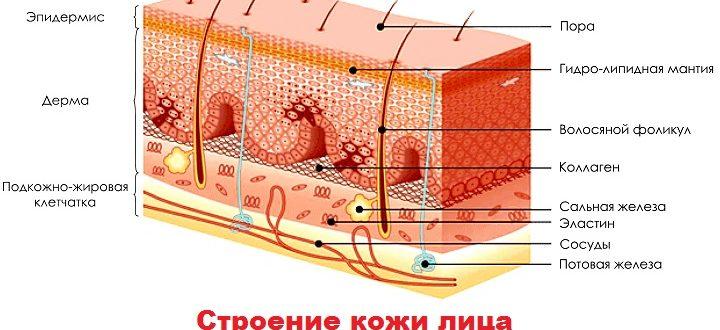 Рисунок слоев кожи