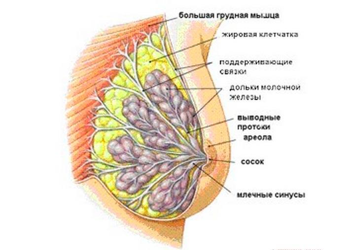 Из чего состоит женская грудь