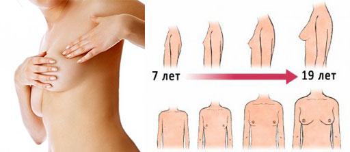 Схема роста груди от 7 до 19 лет