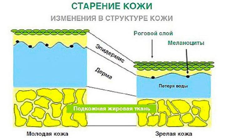 Изменения структуры кожи при старении кожи