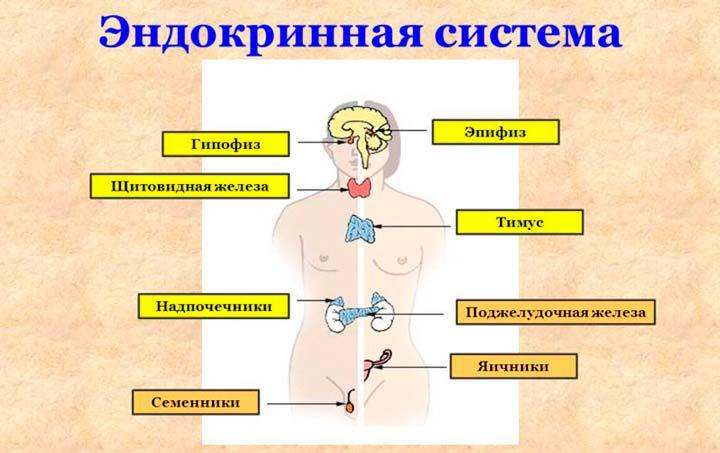 Улучшение функционирования эндокринной системы