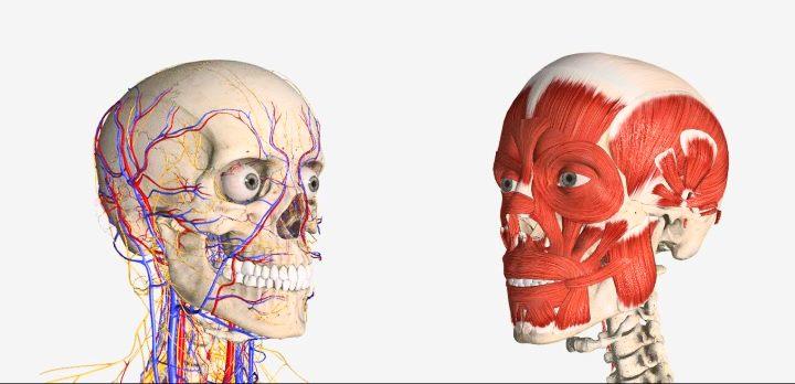 Кровоснабжение и мышцы лица