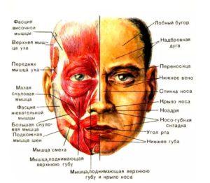 Рабочие мышцы лица
