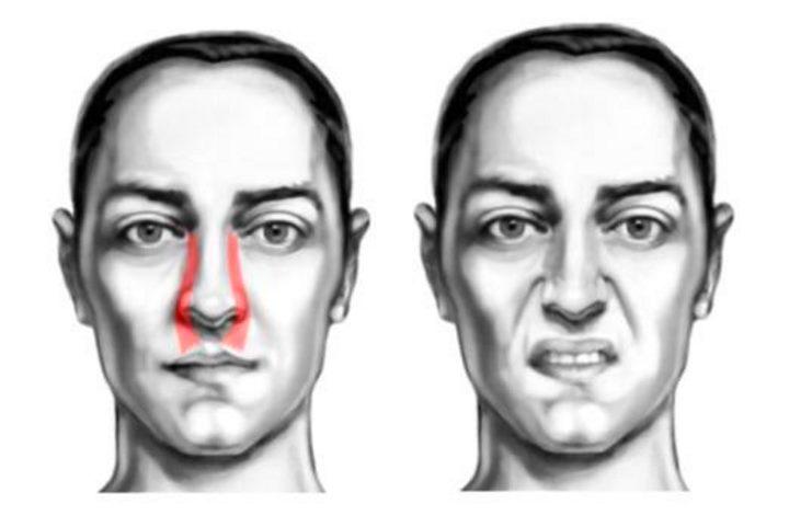 Область лица - мышцы носогубные