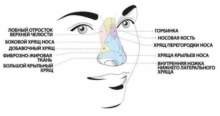 Как устроены кости носа