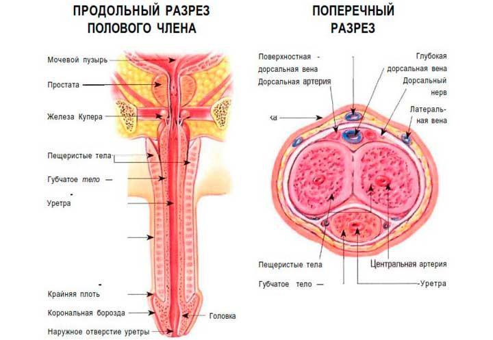 Строение мужского органа