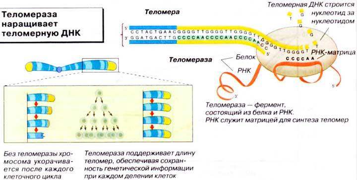 Фермент теломераза