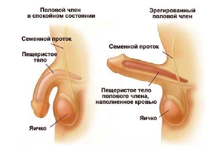 Схема эрегированного полового члена