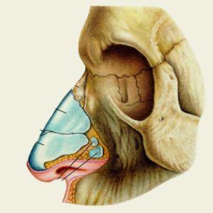 Скелет носа