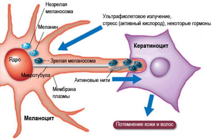 Меланин синтезируется в гипофизе